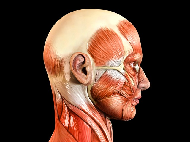an analysis of the head face and neck of the human body Head & face medicine is a truly multidisciplinary open access journal that publishes basic and clinical research within the cranial, facial and oral specialties.