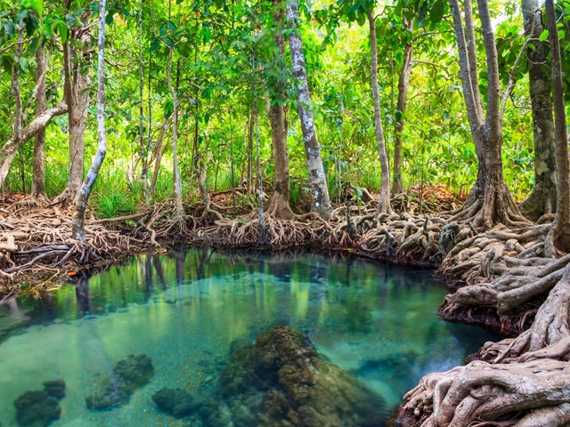 mangroves and their importance Mangroves are an important coastal habitat in southern florida they provide food and habitat for a number of commercially and recreationally important fish and.