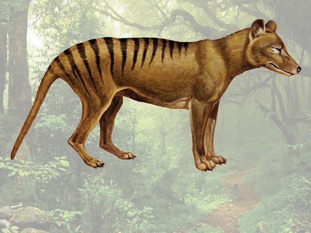 The Hunt For The Thylacine Australia S Elusive Tasmanian Tiger E T Magazine
